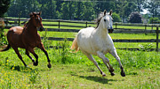 Running Horses Photos - Running Wild by Paul Ward