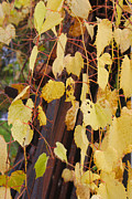 Grapevines Photos - Rust Amongst the Gold by BJ Tuininga