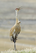 Crane Migration Prints - Rustic Call Print by John Blumenkamp