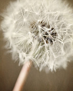 Wishes Photos - Rustic Dandelion in Shades of Brown and Beige by Lisa Russo
