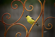 Abc Photos - Rustic Finch by Cris Hayes