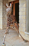 Sculpture Animal Posters - Rustic Giraff Sculpture Poster by Linda Phelps