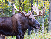Sam Amato - Rutting Alaskan Bull...