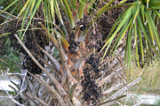Sabal Framed Prints - Sabal Palm Berries Framed Print by Roy Erickson