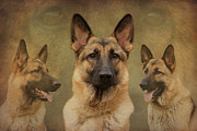 Alsatian Framed Prints - Sable German Shepherd Collage Framed Print by Sandy Keeton