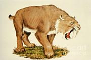 Sabretooth Cat Print by Tom McHugh
