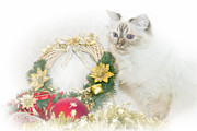 Vignette Digital Art Prints - Sacred Cat of Burma CHRISTMAS TIME Print by Melanie Viola