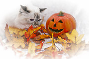 Vignette Digital Art Prints - Sacred Cat of Burma HALLOWEEN Print by Melanie Viola