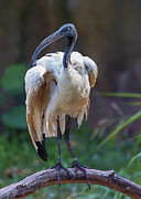 Stork Digital Art Posters - Sacred Ibis Poster by Bill Tiepelman