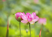 Bees Photos - Sacred Lotus by Bill  Robinson