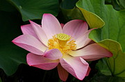 Sacred Lotus Print by Byron Varvarigos