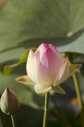 Flowers Of Hawaii Photos - Sacred Lotus by Sharon Mau