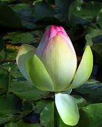 Sacred Tulip Lotus Print by Patricia Januszkiewicz
