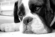 Mike Taylor Prints - Sad Boxer Dog Print by Mike Taylor