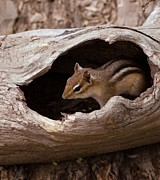 Chipmunk Photograph Posters - Safe Place Poster by Kathleen Struckle