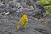 Finch Photos - Saffron Finch Hawaii by Douglas Barnard