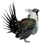 Wings Drawings Prints - Sage grouse  Print by Anonymous