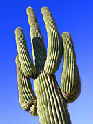 Blue Sky Art - Saguaro Cactus - Arizona by Mike McGlothlen