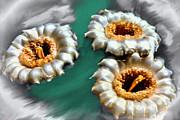 Saguaro Cactus Blossoms Print by Nadine and Bob Johnston