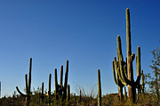 Tucson Originals - Saguaro Cactus by Diane Lent