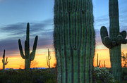 Travel Sightseeing Prints - Saguaro Cactus Sunrise Arizona Print by Bob Christopher