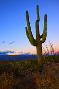 Saguaro Framed Prints - Saguaro Dusk Framed Print by Mike  Dawson