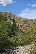 Tom Janca - Saguaro Forest