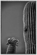 Saguaro In Bloom - V1 Print by Judi FitzPatrick