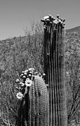 Joe Kozlowski Framed Prints - Saguaro Springtime Framed Print by Joe Kozlowski