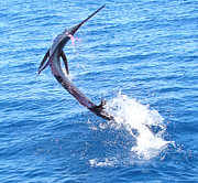 Black Marlin Framed Prints - Sailfish Jump Framed Print by Carey Chen