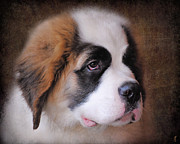 Puppies Photo Framed Prints - Saint Bernard Puppy Framed Print by Jai Johnson