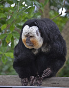 Allen Sheffield Prints - Saki Monkey Print by Allen Sheffield