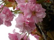Sakura Print by Laura Yamada