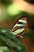 Neotropics Posters - Salapia Glasswing butterfly Poster by James Brunker