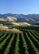 Grape Leaves Photos - Salinas Valley Vineyard by Craig Lovell