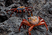 Confronting Art - Sally Light Foot Crabs Galapagos by Jason O Watson