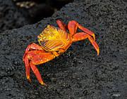 Allen Sheffield - Sally Lightfoot Crab