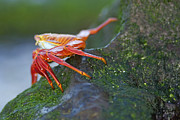 Sally Lightfoot Crab On Rock Print by Sami Sarkis