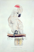 Exotic Painting Posters - Salmon Crested Cockatoo Poster by Edward Lear