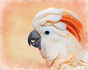 Pet Cockatoo Framed Prints - Salmon Crested Cockatoo Portrait Framed Print by Jai Johnson