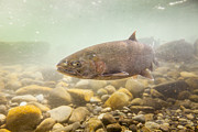 Chinook Salmon Prints - Salmon Portrait Print by Tim Grams