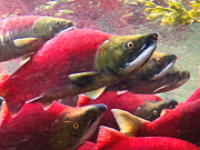 Salmon Digital Art Posters - Salmon Run - Painterly Poster by Wingsdomain Art and Photography