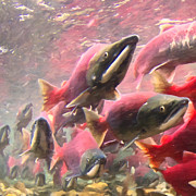 Coho Salmon Posters - Salmon Run - Square - Painterly - 2013-0103 Poster by Wingsdomain Art and Photography