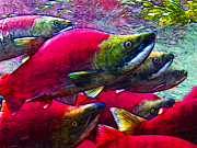 Schools Digital Art Metal Prints - Salmon Run Metal Print by Wingsdomain Art and Photography