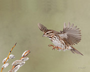 Song Sparrows Framed Prints - Sammy the Song Sparrow Framed Print by Gerry Sibell
