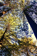 San Francisco Giant Prints - San Francisco - Muir Woods - Redwoods Print by Greg Thiemeyer