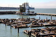 California Sea Lions Photos - San Francisco Pier 39 Sea Lions 5D26102 by Wingsdomain Art and Photography