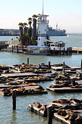 California Sea Lions Photos - San Francisco Pier 39 Sea Lions 5D26103 by Wingsdomain Art and Photography