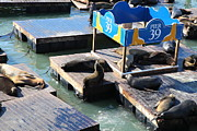 California Sea Lions Photos - San Francisco Pier 39 Sea Lions 5D26105 by Wingsdomain Art and Photography