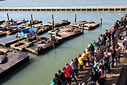 Wingsdomain Art and Photography - San Francisco Pier 39 Sea Lions 5D26108